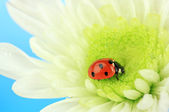 Beautiful ladybird on flower, close up — Stock Photo
