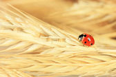 Beautiful ladybird on wheat ear, close up — Foto Stock