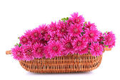 Bouquet of pink autumn chrysanthemum in basket isolated on white — Stok fotoğraf