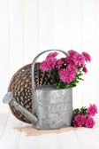 Bouquet of pink chrysanthemum in watering can on white wooden background — Stock fotografie