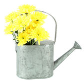 Yellow chrysanthemum flowers in watering can isolated on white — Stock Photo