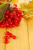 Red berries of viburnum with yellow leaves — 图库照片