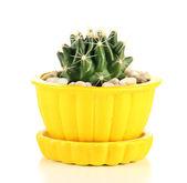 Cactus in flowerpot, isolated on white — Foto de Stock