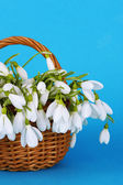 Spring snowdrop flowers in wicker basket, on color background — Stock Photo