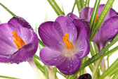 Beautiful purple crocuses, close up — Stock Photo