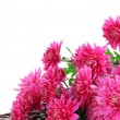 Bouquet of pink autumn chrysanthemum isolated on white — Stock Photo
