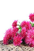 Bouquet of pink autumn chrysanthemum isolated on white — 图库照片