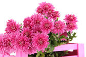 Bouquet of pink autumn chrysanthemum in pink wooden crate isolated on white — Stock Photo