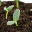 Stock Photo: Green seedling growing from soil close-u