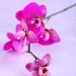 Beautiful orchid on purple background — Stock Photo