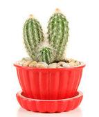 Cactus in flowerpot, isolated on white — Stock fotografie