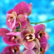 Beautiful orchid on blue background — Stock Photo
