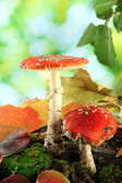 Red amanitas with moss, on green background — Stock Photo
