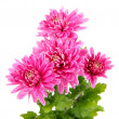 Pink autumn chrysanthemum isolated on white — Stockfoto