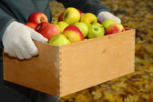 Man hands with crate of fresh ripe apples in garden — Stock Photo
