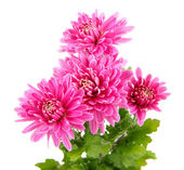 Pink autumn chrysanthemum isolated on white — Stock Photo