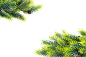 Christmas tree branches on white background — Stock Photo