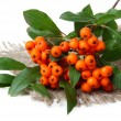Pyracantha Firethorn orange berries with green leaves, on sackcloth, isolated on white — Stock Photo