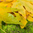 Maple leaves in park, close-up — Stock Photo