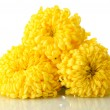 Bright yellow chrysanthemums, isolated on white — Stock Photo