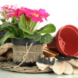 Stock Photo: Beautiful pink primulas in flowerpots and gardening tools, isolated on white