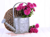 Bouquet of pink chrysanthemum in watering can on white wooden background — Photo