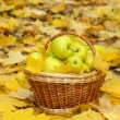 Basket of fresh ripe apples in garden on autumn leaves — Stock Photo