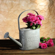 Bouquet of pink chrysanthemum in watering can on wooden table — Стоковая фотография