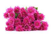 Bukett med rosa höstens krysantemum isolerad på vit — Stockfoto