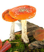 Red amanitas with moss isolated on white — Stock Photo