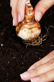 Hand with flower bulbs on humus background — Stock Photo