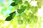 Fresh green hops, on nature background — Stock Photo