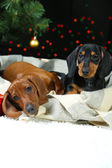 Two Dachshund puppies on Christmas background — Stock Photo