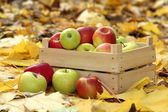 Crate of fresh ripe apples in garden on autumn leaves — Stock Photo