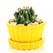 Cactus in flowerpot, isolated on white  — Stock Photo