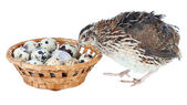 Young quail with eggs isolated on white — Stok fotoğraf