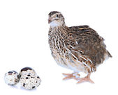 Young quail with eggs isolated on white — Photo