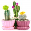 Cactuses in flowerpots with flowers, isolated on white — 图库照片