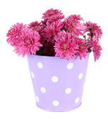 Bouquet of pink autumn chrysanthemum in bucket isolated on white — Stock Photo