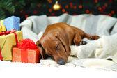 Little cute dachshund puppy on Christmas background — Zdjęcie stockowe