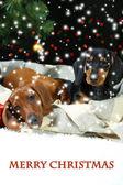 Two Dachshund puppies on Christmas background — Zdjęcie stockowe