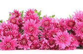 Bouquet of pink autumn chrysanthemum isolated on white — Zdjęcie stockowe
