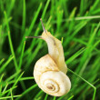 Stock Photo: Beautiful snail on green grass, close up