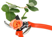 Garden secateurs and rose isolated on white — ストック写真