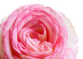 Beautifu pink rose, isolated on white — Stock Photo