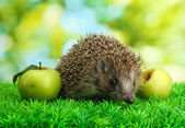 Hedgehog with apples, on grass, on green background — Stock Photo