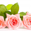 Stock Photo: Pink roses isolated on whit