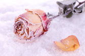 Dried rose covered with hoarfrost on snow close up — Stock Photo