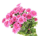 Bukiet różowy chryzantema jesień na białym tle — Zdjęcie stockowe