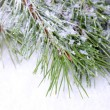 Frozen spruce branches on snow close up — Stock Photo